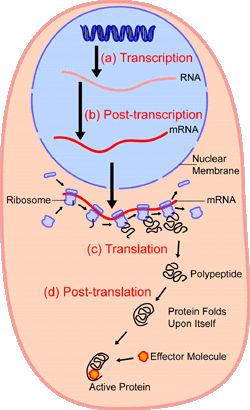 An overview of protein synthesis.Within the  of the cell (light blue),  (DNA, dark blue) are  into . This RNA is then subject to post-transcriptional modification and control, resulting in a mature  (red) that is then transported out of the nucleus and into the  (peach), where it undergoes  into a protein. mRNA is translated by  (purple) that match the three-base  of the mRNA to the three-base anti-codons of the appropriate . Newly synthesized proteins (black) are often further modified, such as by binding to an effector molecule (orange), to become fully active.
